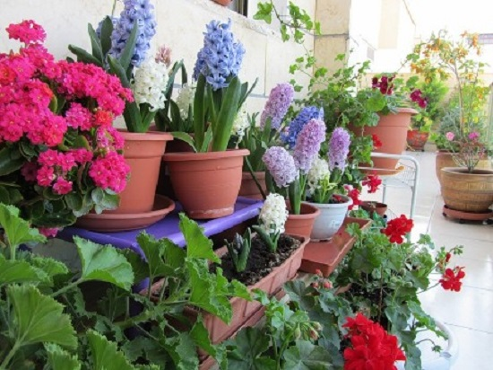 Луковичные цветы на балконе